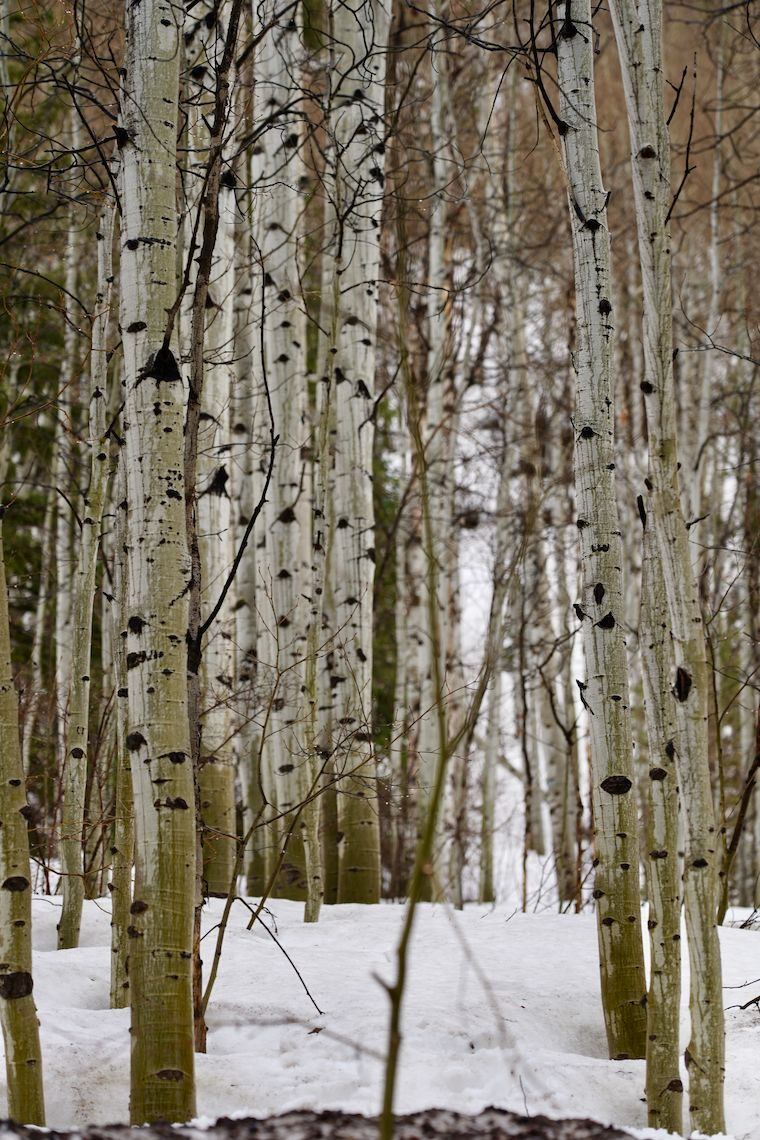 Trees in Vail